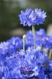 Λουλούδια Cornflower με το πράσινο θολωμένο υπόβαθρο στοκ φωτογραφία με δικαίωμα ελεύθερης χρήσης