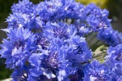 Λουλούδια Cornflower με το πράσινο θολωμένο υπόβαθρο στοκ εικόνες με δικαίωμα ελεύθερης χρήσης