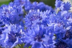 Λουλούδια Cornflower με το πράσινο θολωμένο υπόβαθρο στοκ εικόνες