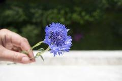 Λουλούδια Cornflower με το πράσινο θολωμένο υπόβαθρο στοκ φωτογραφία
