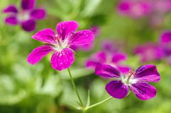 Λουλούδια Cranesbill έλους Στοκ Εικόνες