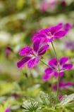 Λουλούδια Cranesbill έλους Στοκ φωτογραφία με δικαίωμα ελεύθερης χρήσης