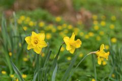 Λουλούδια Daffodil σε έναν τομέα στοκ φωτογραφία με δικαίωμα ελεύθερης χρήσης