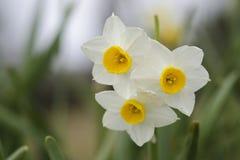 Λουλούδια Daffodil Στοκ Εικόνες