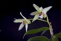 Λουλούδια Dendrobium Στοκ φωτογραφία με δικαίωμα ελεύθερης χρήσης