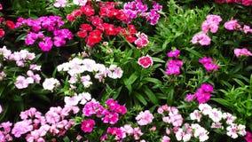 Λουλούδια Dianthus απόθεμα βίντεο