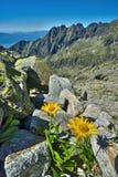 Λουλούδια Doronicum στην αιχμή της Satan Στοκ φωτογραφία με δικαίωμα ελεύθερης χρήσης