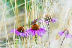 Λουλούδια Echinacea με την πεταλούδα μεταξύ της ξηράς χλόης Στοκ Φωτογραφία