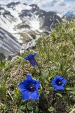 Λουλούδια Enzian Στοκ φωτογραφία με δικαίωμα ελεύθερης χρήσης