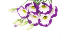 λουλούδια eustoma στοκ φωτογραφία