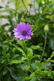 Λουλούδια Fiolet Στοκ Φωτογραφία