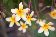 Λουλούδια flowersPlumeria Plumeria στο υπόβαθρο που θολώνεται στοκ εικόνα