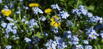 Λουλούδια forget-me-nots και των κίτρινων πικραλίδων Στοκ εικόνες με δικαίωμα ελεύθερης χρήσης