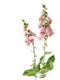 Λουλούδια Foxglove στοκ φωτογραφία με δικαίωμα ελεύθερης χρήσης