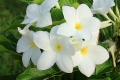 Λουλούδια Frangipani. Στοκ φωτογραφίες με δικαίωμα ελεύθερης χρήσης