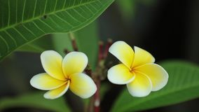 Λουλούδια Frangipani Plumeria που κάνουν πανοραμική λήψη προς τα κάτω τον υψηλό καθορισμό απόθεμα βίντεο