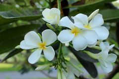Λουλούδια frangipani Plumeria στο πράσινο υπόβαθρο φύλλων Στοκ φωτογραφία με δικαίωμα ελεύθερης χρήσης