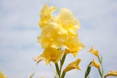Λουλούδια Gladiolus ή hybrida Gladiolus το λουλούδι της άνθισης υπόσχεσης στοκ φωτογραφία με δικαίωμα ελεύθερης χρήσης