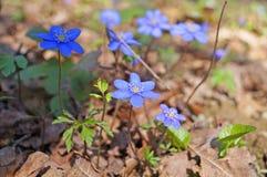 Λουλούδια Hepatica άνοιξη με τους μπλε οφθαλμούς στοκ φωτογραφία με δικαίωμα ελεύθερης χρήσης