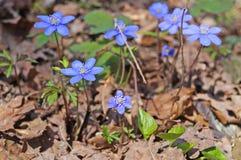 Λουλούδια Hepatica άνοιξη με τους μπλε οφθαλμούς στοκ εικόνα