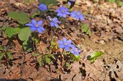 Λουλούδια Hepatica άνοιξη με τους μπλε οφθαλμούς στοκ εικόνες