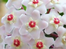 λουλούδια hoya Στοκ Φωτογραφίες