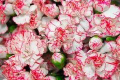 Λουλούδια Hydrangea με τις όμορφες ρόδινες άκρες στα πέταλα ως υπόβαθρο στοκ φωτογραφία με δικαίωμα ελεύθερης χρήσης