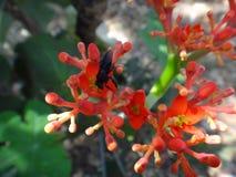 Λουλούδια Jatropha με το έντομο Στοκ φωτογραφίες με δικαίωμα ελεύθερης χρήσης