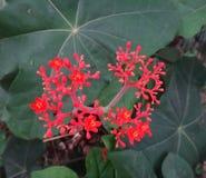 Λουλούδια Jatropha Στοκ φωτογραφία με δικαίωμα ελεύθερης χρήσης