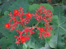 Λουλούδια Jatropha Στοκ εικόνες με δικαίωμα ελεύθερης χρήσης