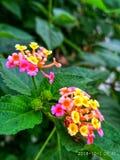 Λουλούδια Lantana στοκ φωτογραφία με δικαίωμα ελεύθερης χρήσης