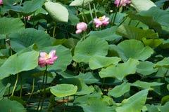 Λουλούδια Lotus στη φύση Στοκ Φωτογραφία