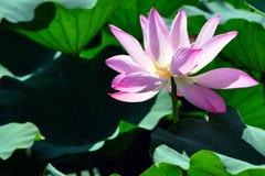 Λουλούδια Lotus το καλοκαίρι στην Κίνα στοκ εικόνες