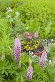 Λουλούδια Lupine Στοκ Εικόνες