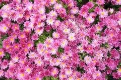 Λουλούδια Mum Στοκ εικόνα με δικαίωμα ελεύθερης χρήσης