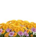 Λουλούδια Mums Στοκ εικόνα με δικαίωμα ελεύθερης χρήσης