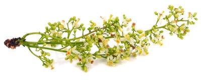 Λουλούδια Neem που απομονώνονται στο άσπρο υπόβαθρο στοκ φωτογραφία με δικαίωμα ελεύθερης χρήσης
