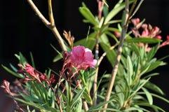 Λουλούδια Nerium Oleander oleander, Apocynaceae Στοκ εικόνα με δικαίωμα ελεύθερης χρήσης