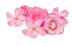 Λουλούδια Oleander που απομονώνονται Στοκ φωτογραφίες με δικαίωμα ελεύθερης χρήσης