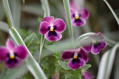 Λουλούδια Pansies Pansy στοκ φωτογραφίες