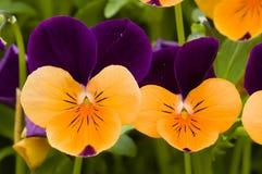 λουλούδια pansy Στοκ φωτογραφίες με δικαίωμα ελεύθερης χρήσης