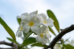 Λουλούδια Plumeria, άσπρα λουλούδια plumeria με τον ουρανό στοκ εικόνες