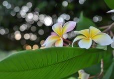 Λουλούδια Plumeria και καλό bokeh Στοκ φωτογραφία με δικαίωμα ελεύθερης χρήσης