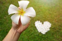 Λουλούδια plumeria μορφής καρδιών κινηματογραφήσεων σε πρώτο πλάνο Στοκ φωτογραφία με δικαίωμα ελεύθερης χρήσης