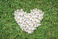 Λουλούδια plumeria μορφής καρδιών στην πράσινη χλόη Στοκ Εικόνες
