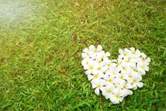 Λουλούδια plumeria μορφής καρδιών Στοκ Φωτογραφίες