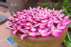 Λουλούδια Plumeria στο δοχείο τερακότας στοκ εικόνες με δικαίωμα ελεύθερης χρήσης