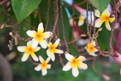 Λουλούδια Plumeria στο υπόβαθρο που θολώνεται στοκ εικόνες