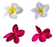 Λουλούδια Plumeria στοκ φωτογραφία