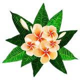Λουλούδια plumeria Frangipani με τα φύλλα διανυσματική απεικόνιση
